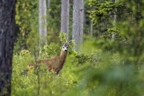 Can a slingshot kill a deer, a deer in the depths of the forest
