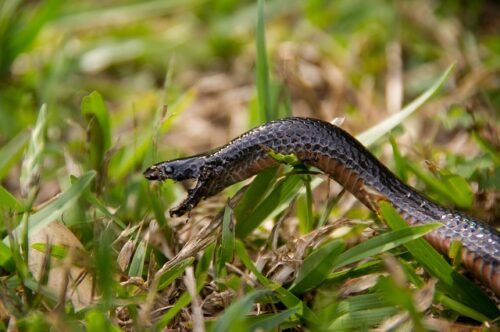 Can you eat a venomous snake, red-bellied black snake